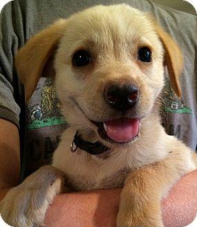 Labrador Retriever/Golden Retriever Mix Puppy for adoption in Kittery, Maine - Drew