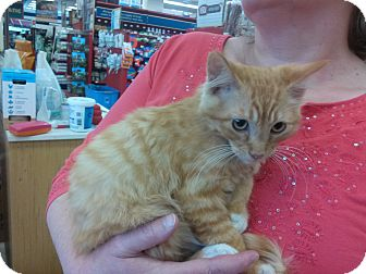 Domestic Mediumhair Kitten for adoption in Alamo, California - Butters