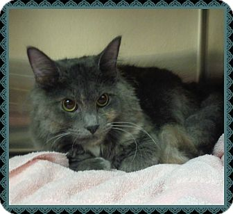 Domestic Longhair Cat for adoption in Marietta, Georgia - RIKKI