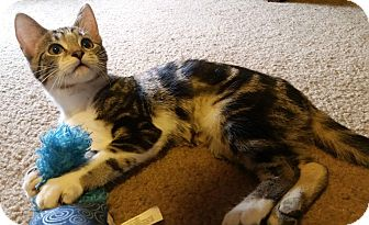 Domestic Shorthair Kitten for adoption in Columbus, Ohio - Stella