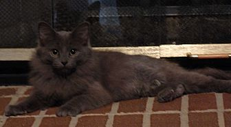 Domestic Longhair Cat for adoption in Speedway, Indiana - Rani