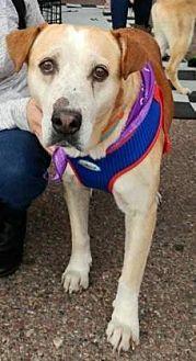 Hound (Unknown Type)/Labrador Retriever Mix Dog for adoption in Scottsdale, Arizona - Leo