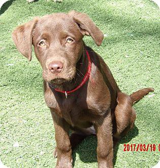 Labrador Retriever/Retriever (Unknown Type) Mix Puppy for adoption in Twinsburg, Ohio - Ava (30 lb) Video!