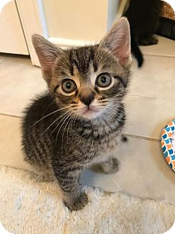 Domestic Shorthair Kitten for adoption in Richmond, Virginia - Joey