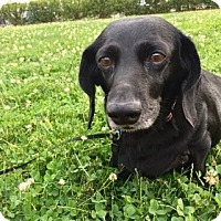 Adopt A Pet :: MISSY *doxie - Sterling, MA