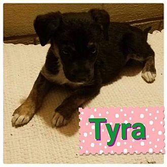 Border Collie/Retriever (Unknown Type) Mix Puppy for adoption in LAKEWOOD, California - Tyra