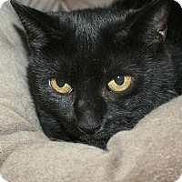 Domestic Shorthair Cat for adoption in Potsdam, New York - Rani