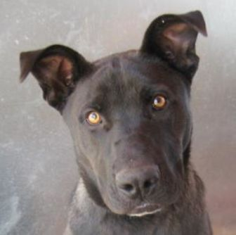 Great Dane/Boxer Mix Dog for adoption in Las Cruces, New Mexico - Draco