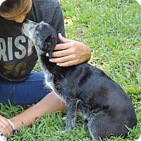 Adopt A Pet :: Annie - Joplin, MO