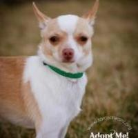 Adopt A Pet :: Señor Pepe - Independence, MO