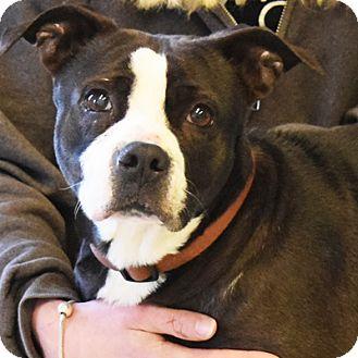 Staffordshire Bull Terrier/English Bulldog Mix Dog for adoption in Huntley, Illinois - Scarlett