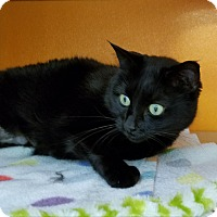 Domestic Shorthair Cat for adoption in Elyria, Ohio - Cole