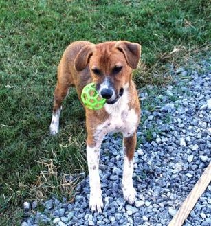Retriever (Unknown Type)/Hound (Unknown Type) Mix Dog for adoption in Cedar Bluff, Alabama - Chester