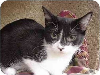 Domestic Shorthair Kitten for adoption in The Colony, Texas - Tazzie Tuxedo