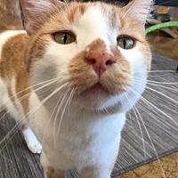 Adopt A Pet :: Brutus - St. Louis, MO