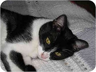 Domestic Shorthair Cat for adoption in AUSTIN, Texas - Spencer