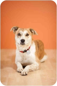Australian Shepherd Mix Dog for adoption in Portland, Oregon - Daisy