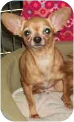 Chihuahua Dog for adoption in Kokomo, Indiana - Abigail