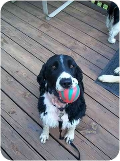 English Springer Spaniel Dog for adoption in Hagerstown, Maryland - Bingo