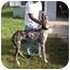 Photo 3 - Great Dane Mix Dog for adoption in Cairo, Georgia - Marla