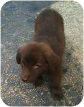 Labrador Retriever/Dachshund Mix Puppy for adoption in Proctorville, Ohio, Ohio - Teddy