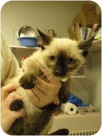 Domestic Shorthair Kitten for adoption in Oklahoma City, Oklahoma - Carlton