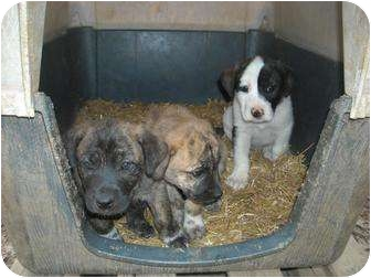 Mountain Cur Mix Puppy for adoption in Conway, New Hampshire - Mountain Cur Pups
