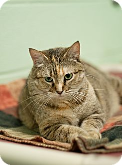 Domestic Shorthair Cat for adoption in Carencro, Louisiana - Angel