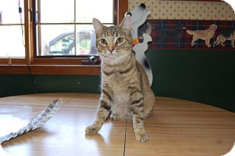 Domestic Shorthair Cat for adoption in North Judson, Indiana - Peony