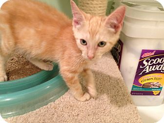 Domestic Shorthair Kitten for adoption in East Hanover, New Jersey - Russet