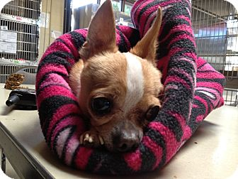 Chihuahua Mix Dog for adoption in Poulsob, Washington - Linus the Brave of Heart
