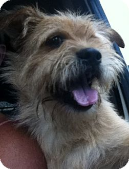 Cairn Terrier/Terrier (Unknown Type, Small) Mix Dog for adoption in Smyrna, Georgia - Winston