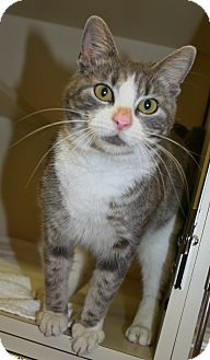 Domestic Shorthair Cat for adoption in Pinehurst, North Carolina - Rosebud