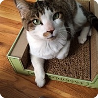 Adopt A Pet :: Tiger Joe - Chicago, IL