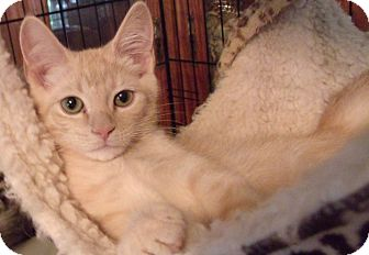 Domestic Shorthair Cat for adoption in Acme, Pennsylvania - QUINCY