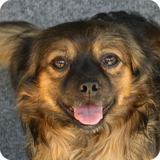 Pekingese/Tibetan Terrier Mix Dog for adoption in Edmonton, Alberta - Hodor