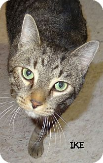 Domestic Shorthair Cat for adoption in Lapeer, Michigan - IKE! WHAT A CHARACTER!!