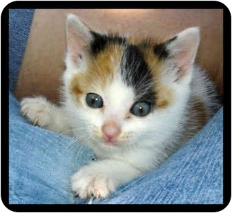 Calico Kitten for adoption in Bakersfield, California - Cleo