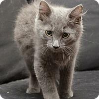 Adopt A Pet :: Andy (Adorable!) - Reston, VA