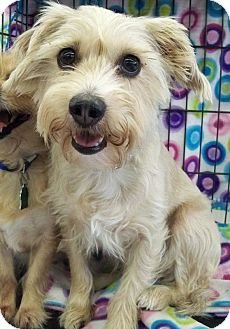 Schnauzer (Miniature)/Papillon Mix Dog for adoption in Sterling Heights, Michigan - Daisy