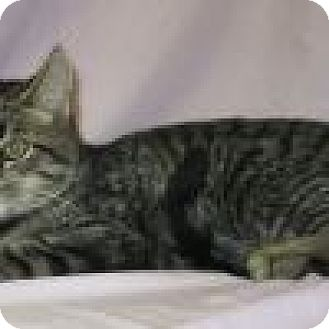 Domestic Shorthair Cat for adoption in Powell, Ohio - Cisco