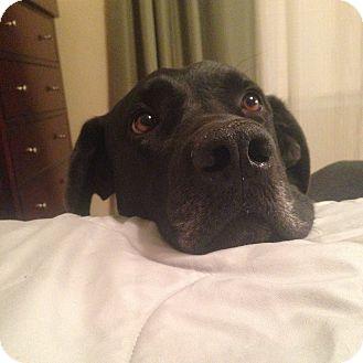 Labrador Retriever/Great Dane Mix Dog for adoption in Nashville, Tennessee - Gromit