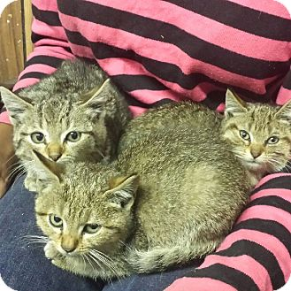 Domestic Shorthair Kitten for adoption in Bronx, New York - Whiskers (with Jynx & Muffin)