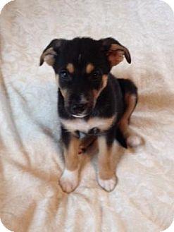 German Shepherd Dog/Husky Mix Puppy for adoption in Grand Rapids, Michigan - Ellie