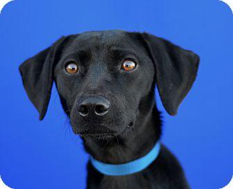 Labrador Retriever Mix Dog for adoption in LAFAYETTE, Louisiana - ONYX