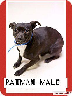 Dachshund/Chihuahua Mix Dog for adoption in Harrisonburg, Virginia - Batman