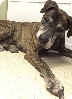 Great Dane/Pit Bull Terrier Mix Dog for adoption in bath, Maine - TYSON