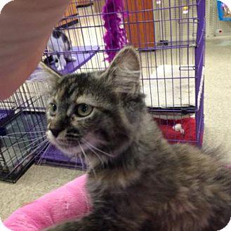 Domestic Mediumhair Kitten for adoption in Wilmore, Kentucky - Latte