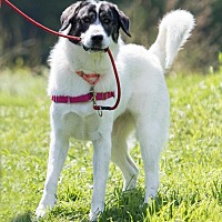 Great Pyrenees/Labrador Retriever Mix Dog for adoption in Enfield, Connecticut - Hope