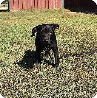Labrador Retriever/Border Collie Mix Puppy for adoption in Hagerstown, Maryland - Bitsey